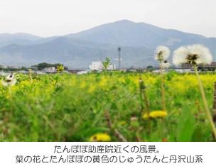 たんぽぽ助産院近くの風景。菜の花とたんぽぽの黄色のじゅうたんと丹沢山系